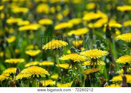 Yellow dandelion field. Summer.