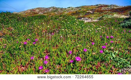 Coastal Wildflowers