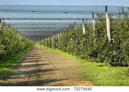Apple Orchard With Protection Net