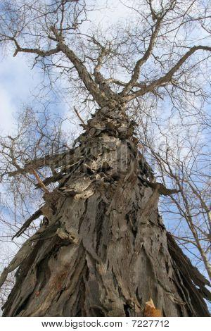 shag-bark hickory tree