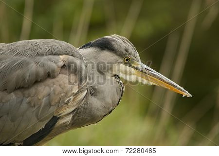 Close-up Of Grey Heron Staring Into Water