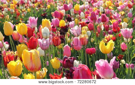 Colorful Tulip Flowerbed With Back Lighting