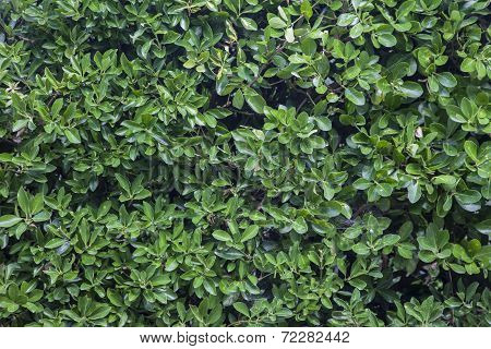 Green Laurel Bushes