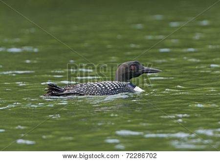 Common Loon On A North Woods Lake