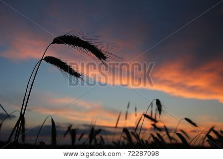 Harvesting Field In The Evening, Blue Sky With Pink Clouds