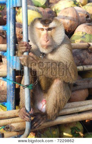Affe-Makak Coconut Sit
