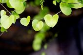 stock photo of shapes  - Heart shaped leaves closeup - JPG