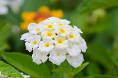 stock photo of lantana  - Lantana or Wild sage or Cloth of gold or Lantana camara flower in the garden - JPG