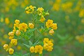 stock photo of cassia  - In the morning a yellow Cassia flowers - JPG