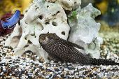 image of catfish  - Aquarium Catfish Hypostomus plecostomus on a background of stone - JPG