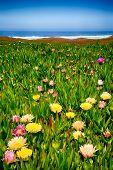 picture of wildflower  - Wildflowers on the beach in Point Reyes National Seashore - JPG
