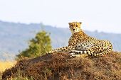 picture of cheetah  - A cheetah (Acinonyx jubatus) in safari in southwestern Kenya.