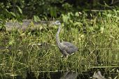 picture of bluegill  - A Great Blue Heron fishing for some food - JPG