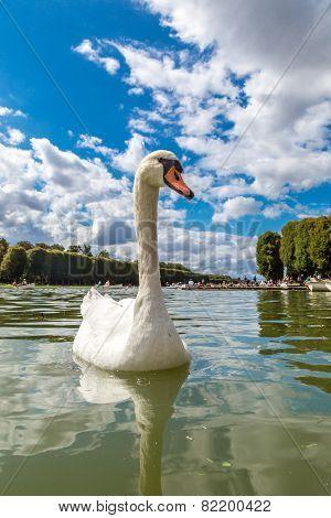 Mute Swan On A Lake