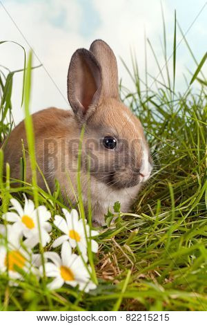 Three weeks old brown rabbit in a daisy garden