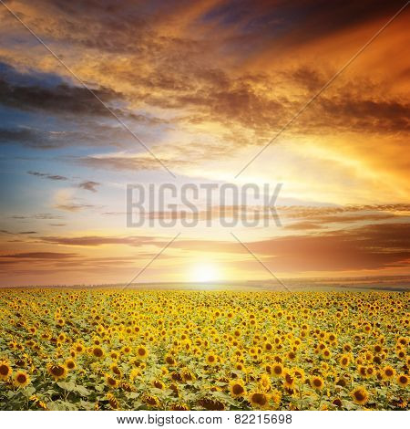 beautiful sunset over sunflowers field