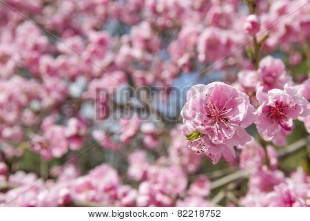 Sakura flowers on blue sky background