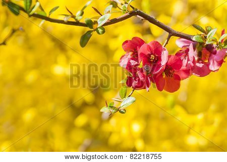 Bright spring background with pink flowers - Chaenomeles
