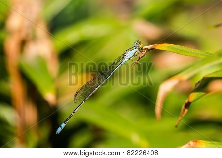 Damsel Flies
