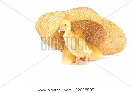 Yellow Fluffy Ducklings