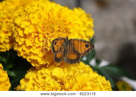 Gatekeeper Butterfly On A Marigold