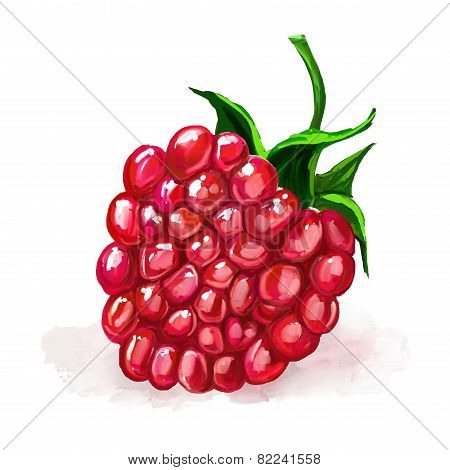 raspberry vector illustration  hand drawn  painted watercolor