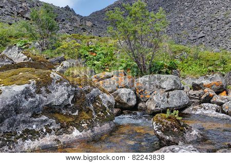 Rhodiola Rosea Growing On A Rock In A Mountain Stream