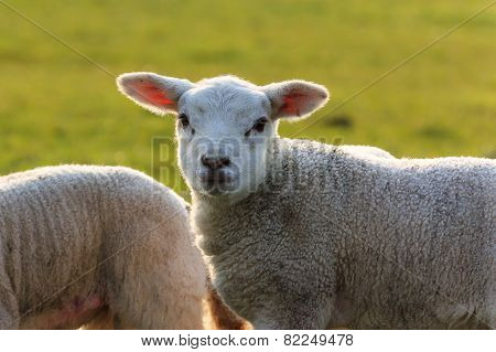Cute Young Lamb Halo