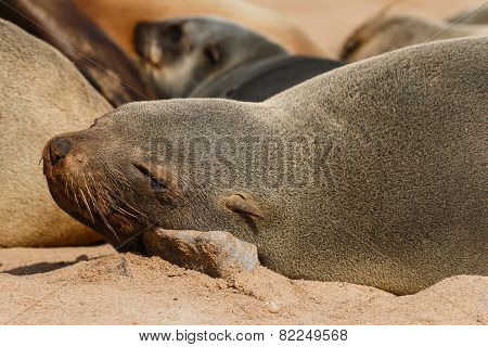 Cape Fur Seal Resting On A Stone