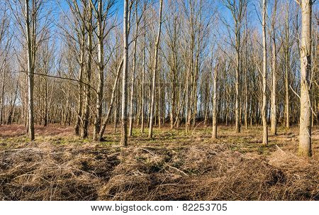 Thin Bare Trees In A Forest In Wintertime