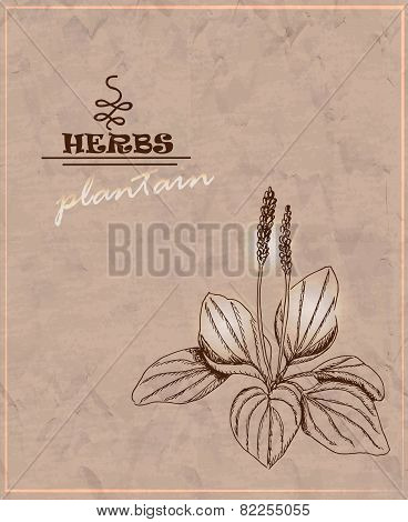 Vintage Background With Plantain On Old Paper