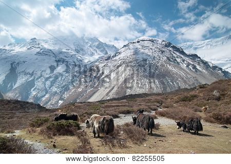 Landscape With Yaks And Mountains.