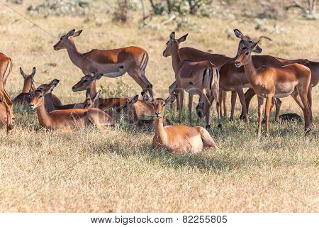 The group of antelopes on the grass
