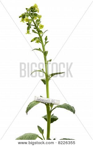Tobacco Plant With Tabacum Homeopathic Medicine