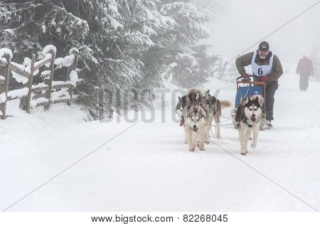 Siberian Husky Dog Sled Race