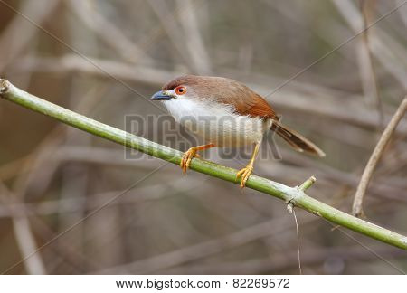 Yellow-eyed Babbler Chrysomma Sinense