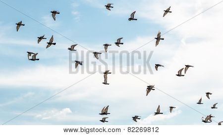 Pigeons In Mid Flight