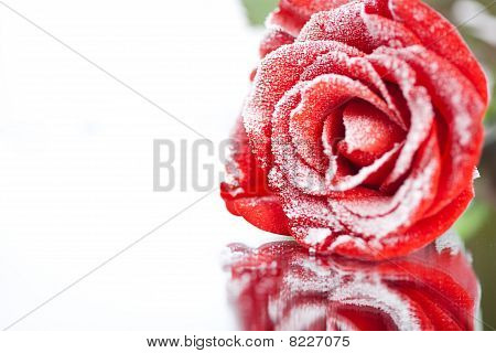 Frozen Red Rose In White Frost