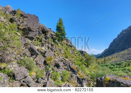 One Siberian Pine On A Stone Slope
