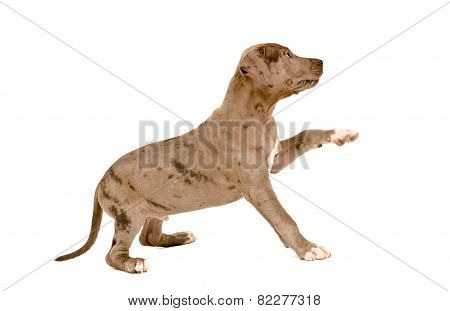 Cute puppy pit bull standing with a raised paw