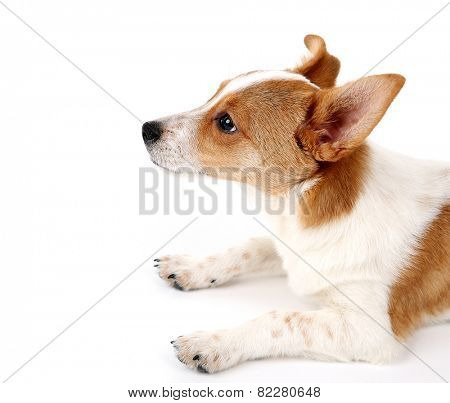 Cute dog with  with rawhide bone on red ribbon isolated on white background