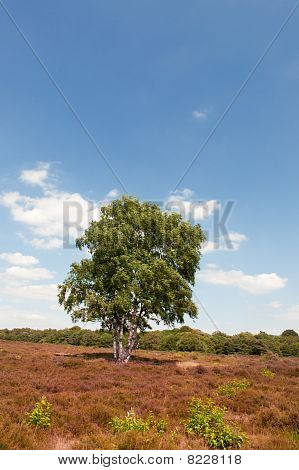 Tree In Heather Landscape