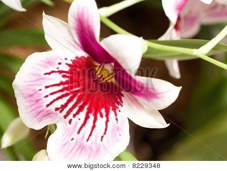 Close-up Of Cymbidium Orchid Blossom