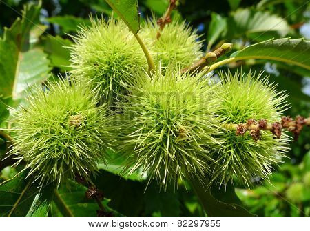 Infructescence of the sweet chestnut in summer