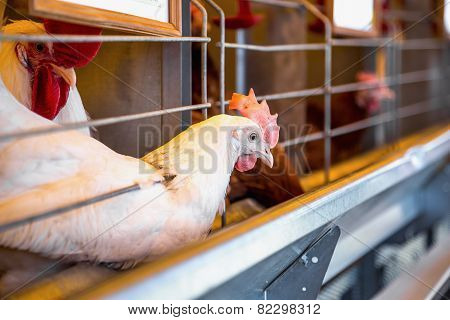 Chicken And Cock In Farm Incubator Or Coop
