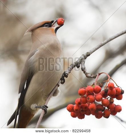 Waxwing with berry of mountain ash