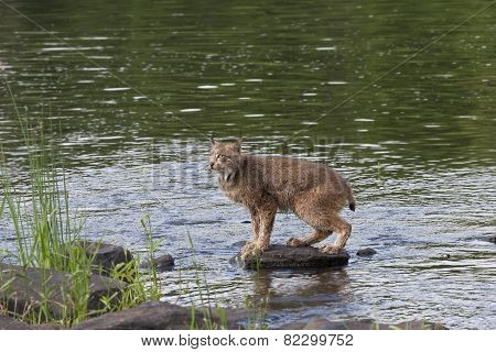 Lynx on a Rock in the River