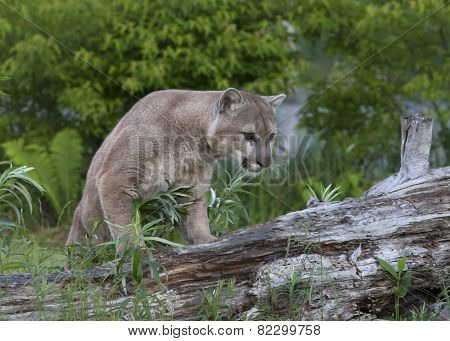 Cougar Walking on a Fallen Tree