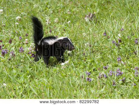 Skunk in Meadow with Purple Wildflowers