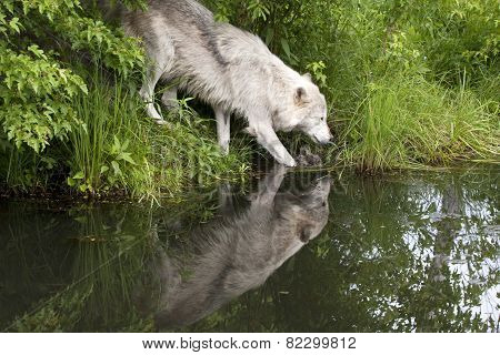 Old Grey Wolf with Lake Reflection